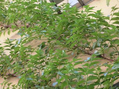 ミニミニ家庭菜園&ミニガーデニング 壁を這い上がるノウゼンカズラ/どこまでもアマチュア