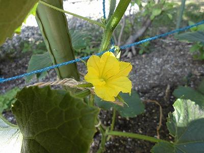 ミニミニ家庭菜園&ミニガーデニング キュウリの花/どこまでもアマチュア