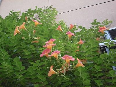 ミニミニ家庭菜園&ミニガーデニング ノウゼンカズラの花/どこまでもアマチュア