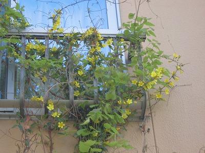 家庭菜園のつもりで庭いじり2016 ジャスミンの花/どこまでもアマチュア